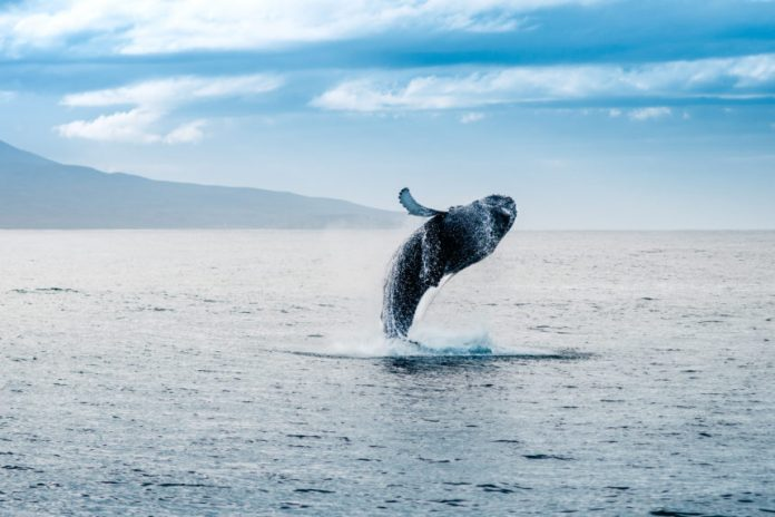 A Notorious Bitcoin Whale Simply Resurfaced– and He's Got a Bone to Select