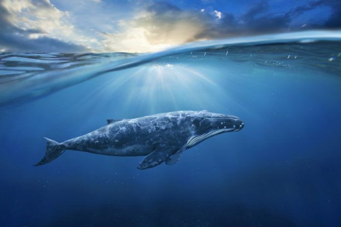Was the Enormous Bitcoin Rally Engineered by a Single Whale? Potentially