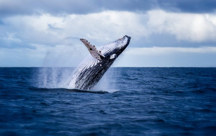 Whales are Collecting Bitcoin Regardless Of Its Stalling Momentum