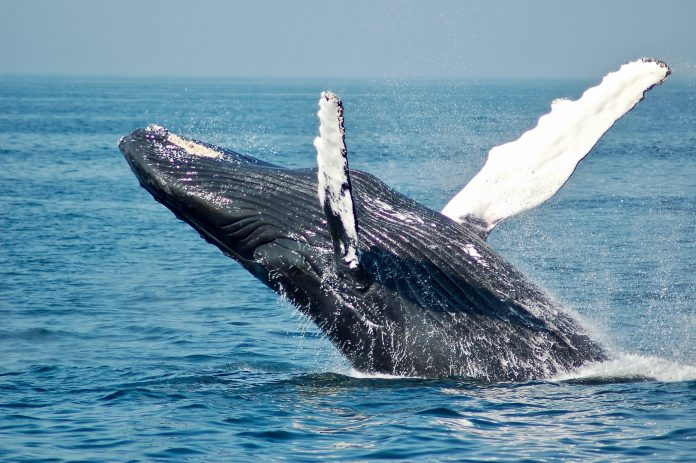 Bitcoin Whales Aren't Offering Their BTC; It Might Be Boosting Its Cost